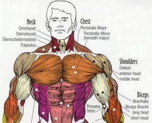 Самые Важные Мышцы Для Боев